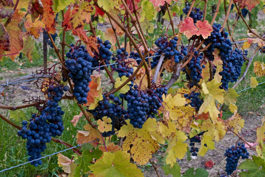 Grapes on the vine in Prince Edward County.